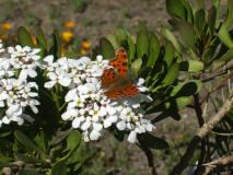 ¿lepidoptero, o lepidoptera? einh?